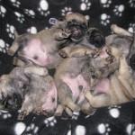 Возраст щенков 21 день